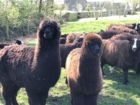 handweavers-guild-cork-road-trip-spring-2018-alpaca-flock-minders