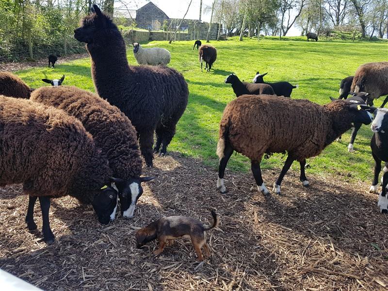 handweavers-guild-cork-road-trip-spring-2018-zwartbles-alpaca
