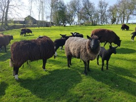 handweavers-guild-cork-road-trip-spring-2018-zwartbles-sheep-ewes-lambs