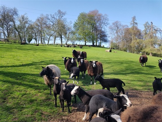 handweavers-guild-cork-road-trip-spring-2018-zwartbles-sheep